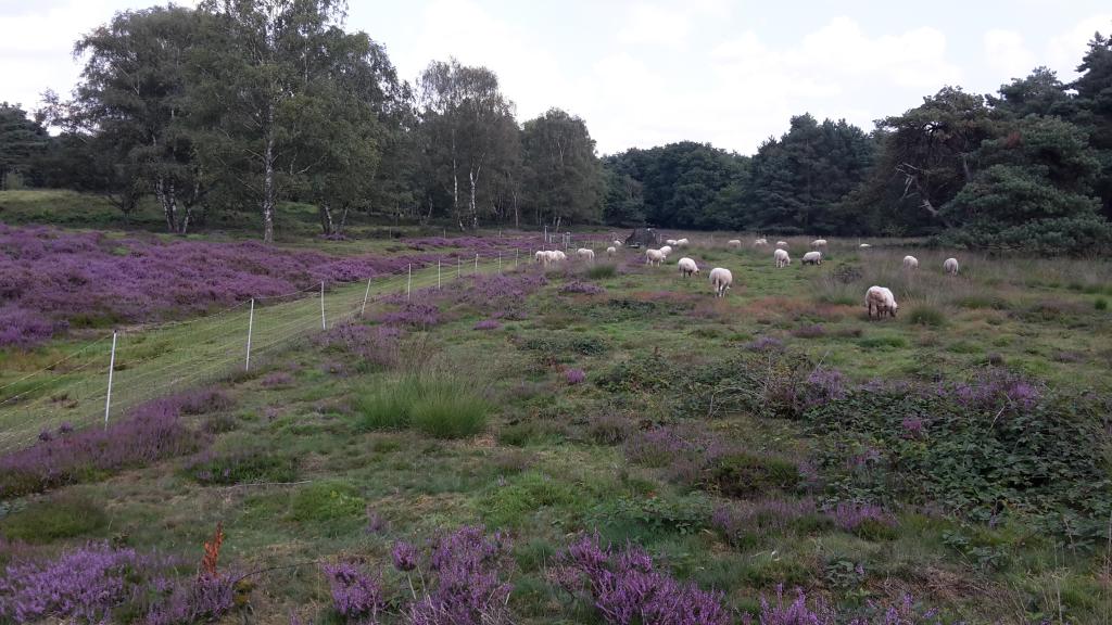 schapen-lw-2017